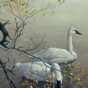 Trumpeter Swans and Aspen - Signed Artist Proof Print by Robert Bateman