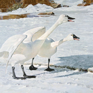 Courting Pair - Whistling Swans - Signed Artist Proof Print by Robert Bateman