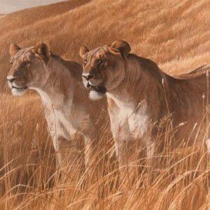 African Amber - Lioness Pair - Signed Artist Proof Print by Robert Bateman