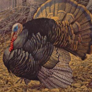 Courtship Display - Wild Turkey - Signed Artist Proof Print by Robert Bateman