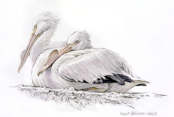 White Pelican - Signed Limited Edition Print by Robert Bateman